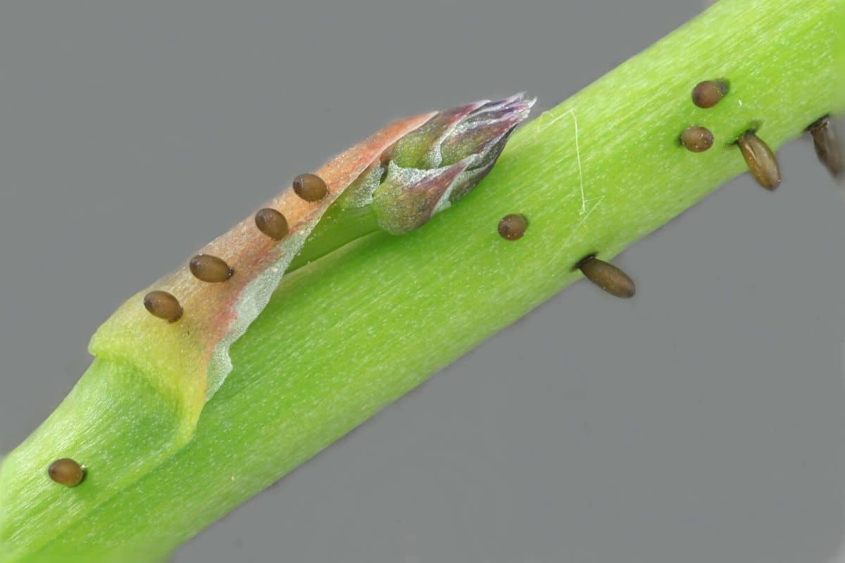 asparagus beetle eggs