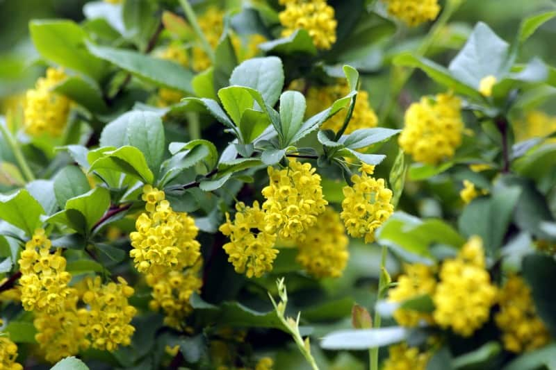 Barberry shrub with yellow flowers