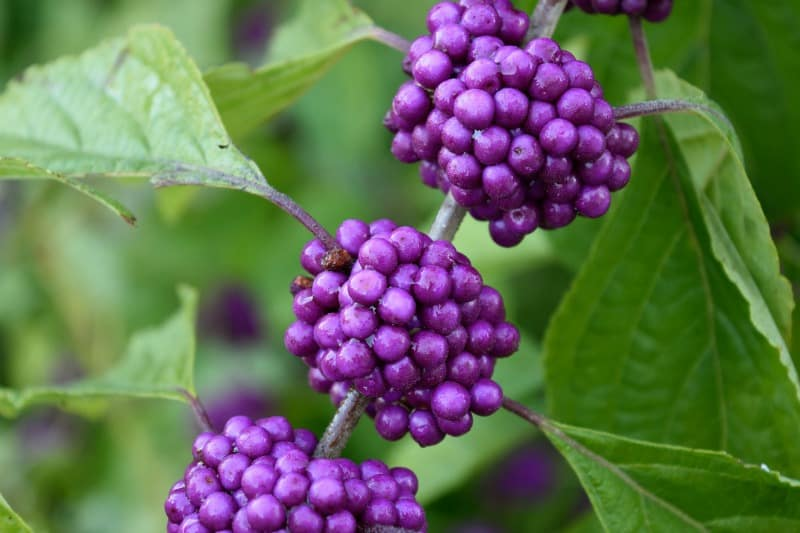Beautyberry fruits