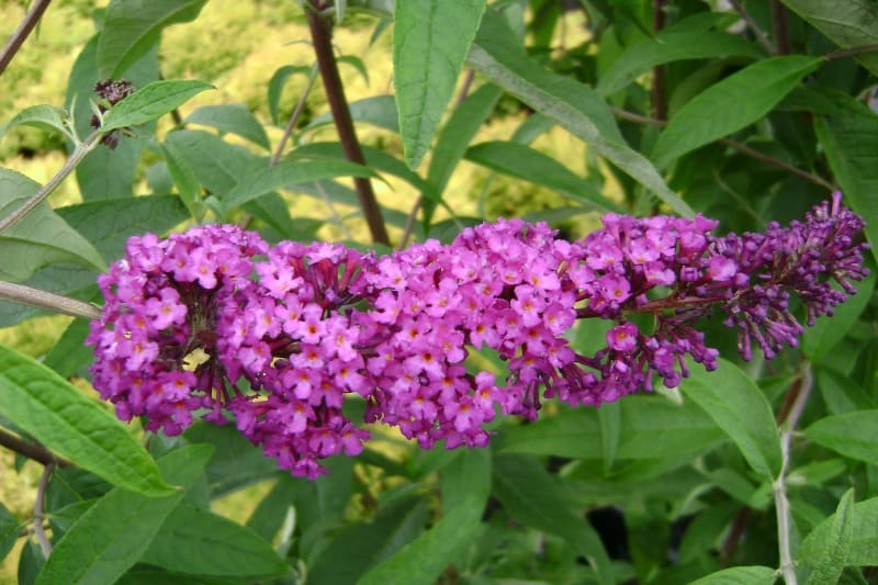 Pink blooming butterfly bush