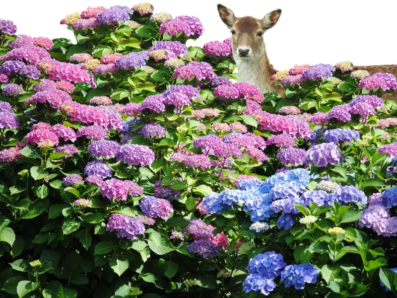 Deer behind a large hydrangea bush