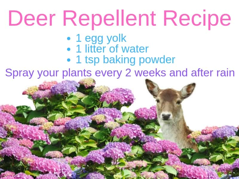 Deer repellent recipe
