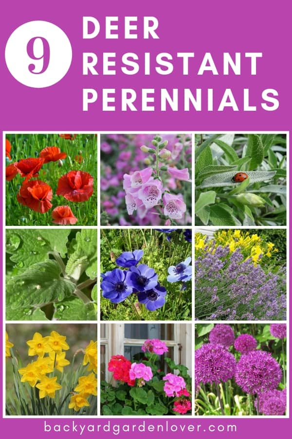 Are deer feasting yon your beautiful flower beds? Here are 9 deer resistant perennials that you can plant and forget it: daffodils, alliums, lavender, anemones, and more. #deerresistant #deerresistantplants #perennials #flowers #gardening #gardenpests #deer #gardeningtips