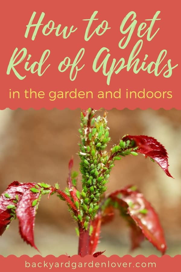 Aphids could quickly destroy your plants, both indoors and out in the garden. Getting rid of aphids is easy with these 7 tips: see which one will work best for you. #aphids #gardenpests #gardening #garden #organicgardening #gardenbugs