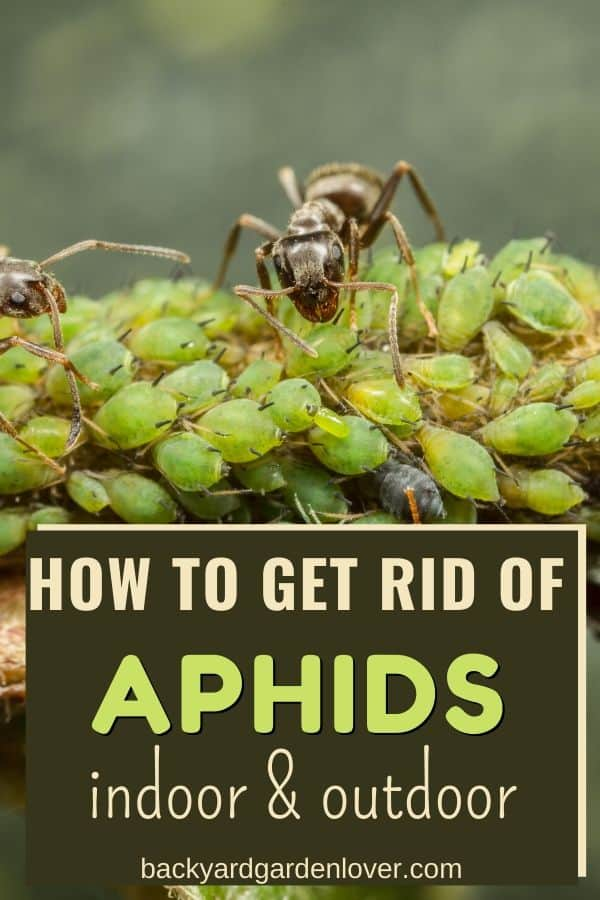 Aphid infested plant