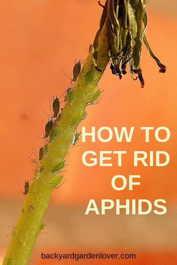 Want to learn how to get rid of aphids naturally? Did you know that water alone can remove aphids? Keep your plants aphid free with these 7 easy natural methods. #aphids #gardening #organic #gardenpests #natural #garden #organicgardening