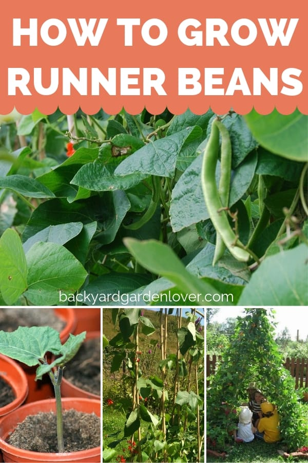 Learn how to grow runner beans. #growbeans #runnerbeans #beans #gardening #organicgardening #gardeningtips #gardentotable #growyourfood