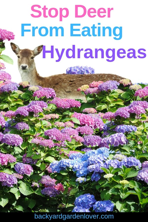 How to stop deer from eating hydrangeas #gardenpests #deer #deerinthegarden #deerrepellent #gardening #flowergarden #hydrangeas #hydrangeaflowers