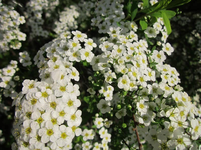 White spirea bloms