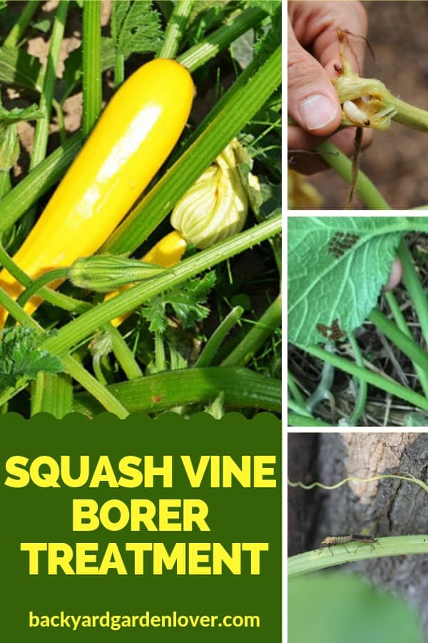 Squash attacked by squash vine borer
