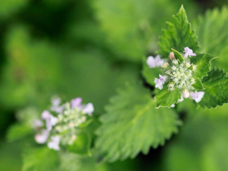 Blooming catnip - small light lavender flowers