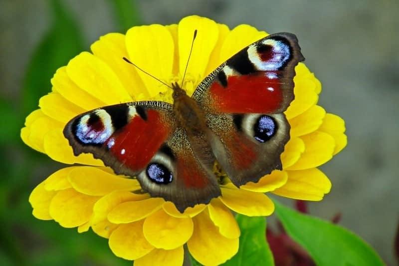Pretty butterfly on zinnia flowers