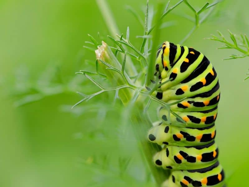 Beautiful caterpillar on fennel