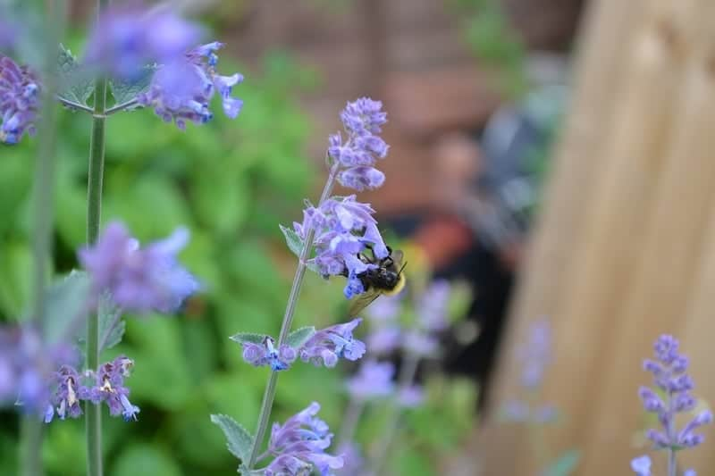 Bee on catmint flowers