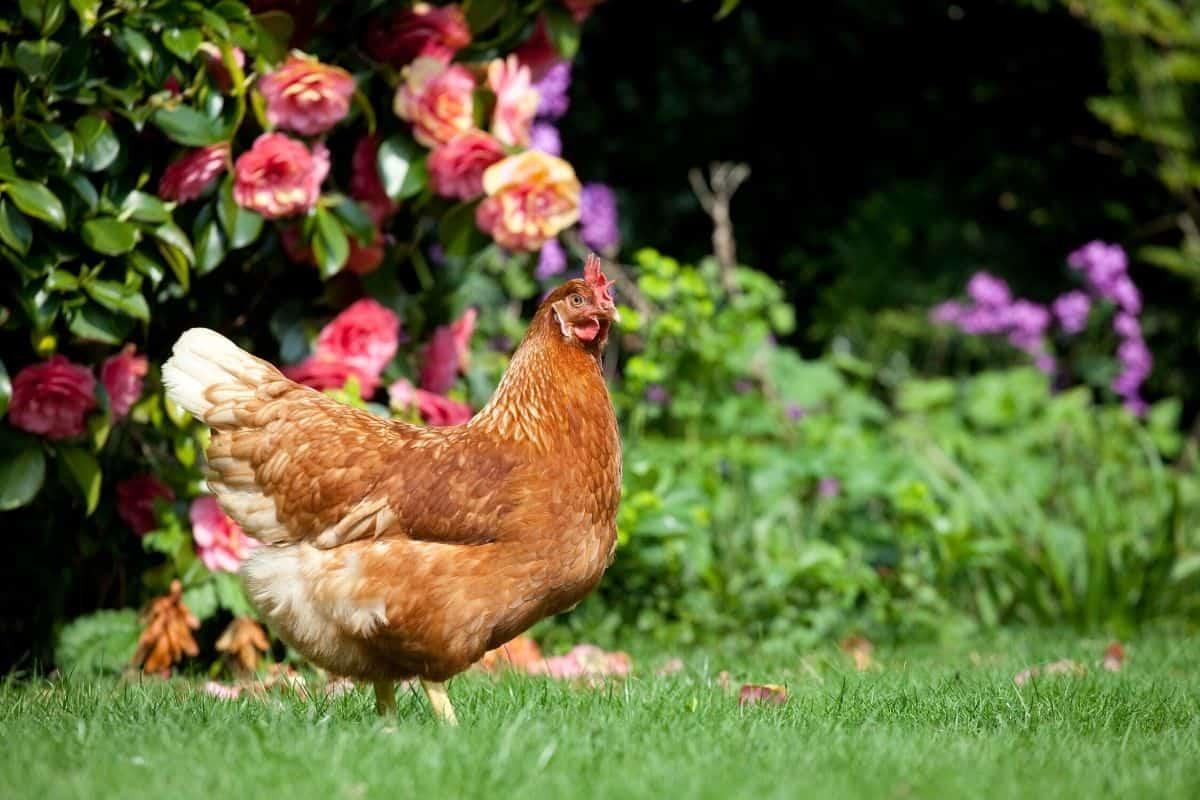 a chicken in the garden