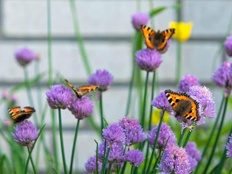 Butterflies enjoying chives blooms