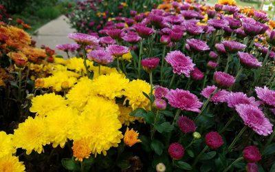 Frong yard chrisanthemums