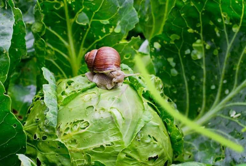 Garden snail destroying cabbage