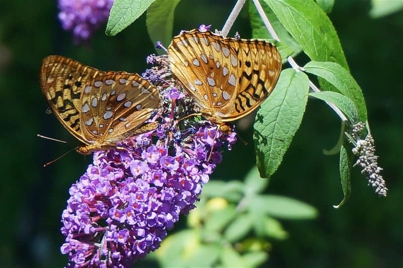 Pretty lavender colored butterfly bush with 2 butterflies on it