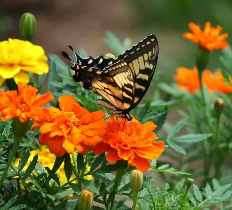 Old world swallowtail on marigolds