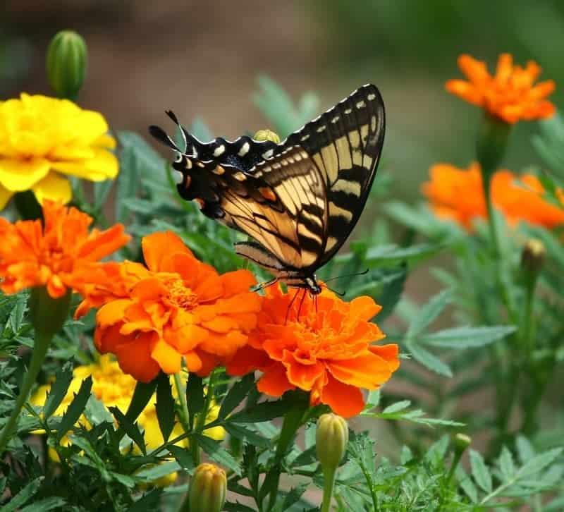 Old world swallowtail on marigolds
