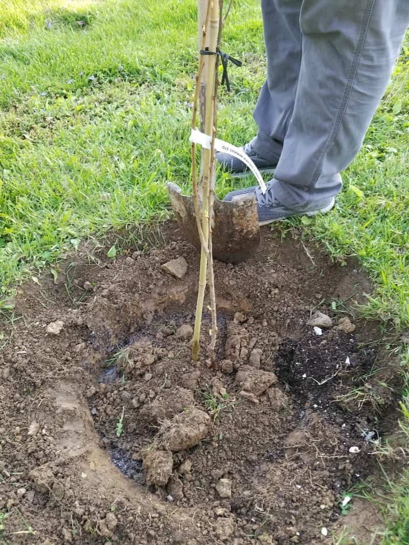 Adding soil back around the planted tree