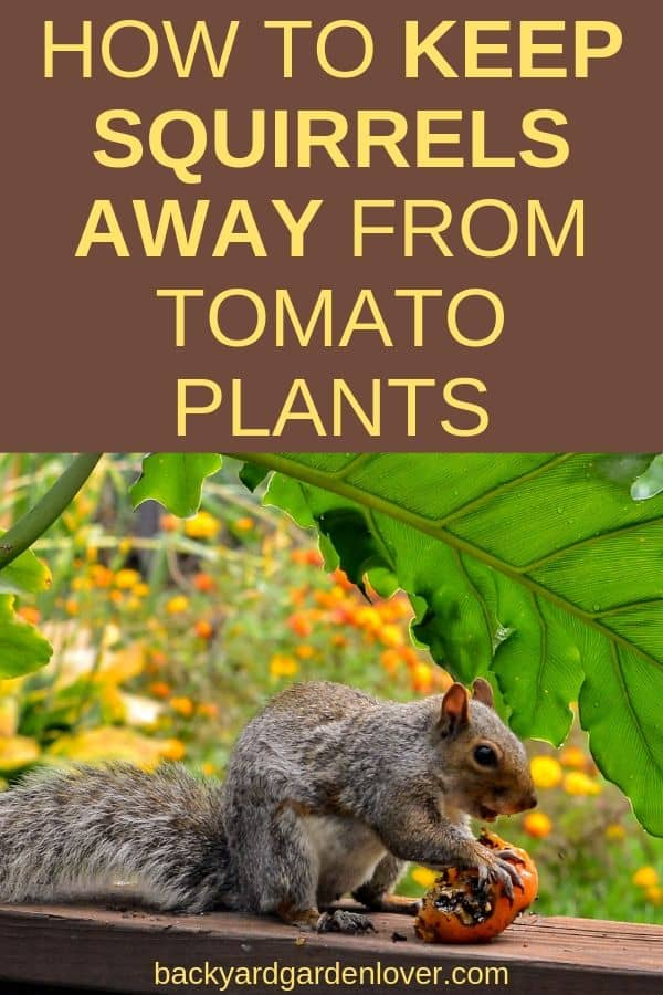 Learn how to keep squirrels away from tomato plants: suggestions made by my Facebook followers. #squirrels #gardenpests #gardening #organicgardening #harvest #tomatoes