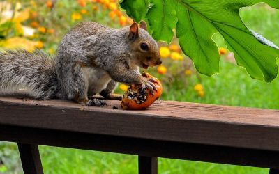 Squirrel eating a tomato
