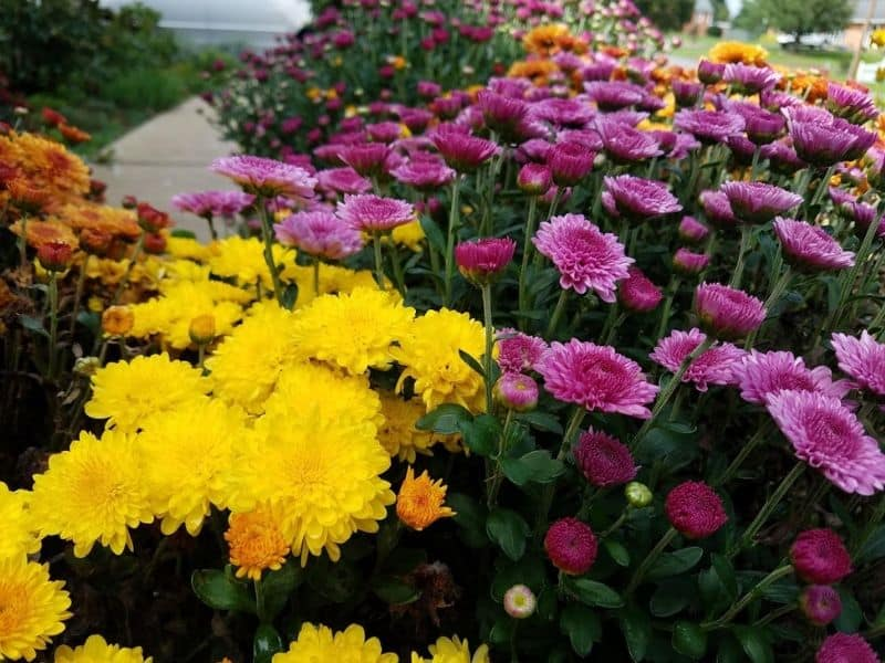 Chrysanthemums growing in my front yard