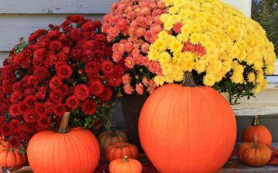 Gorgeous mums and pumpkins