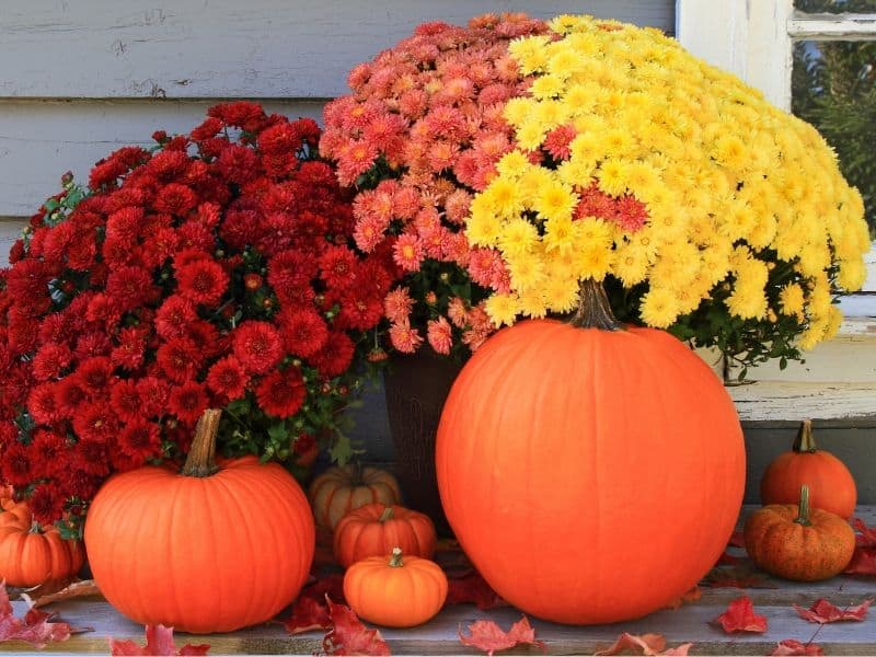 Gorgeous mums and pumpkins