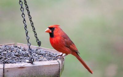 A beautiful cardinal perched on a homemade bird feeder