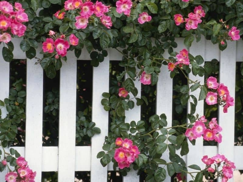 Pink flowers decorate a white fence