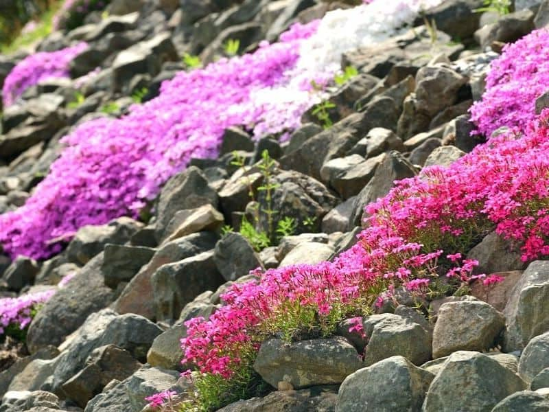 Rock hill with pink flowers