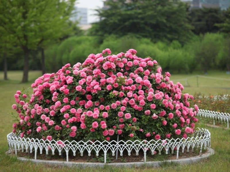 Roses planted in a circular raised bed and surrounded by a decorative white wire fence