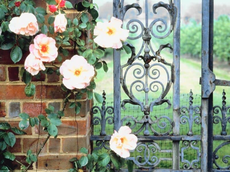 Pale pink roses behind a wrought iron fence