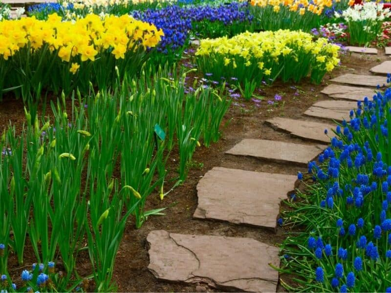 A stone path surrounded by yellow and blue spring flowers