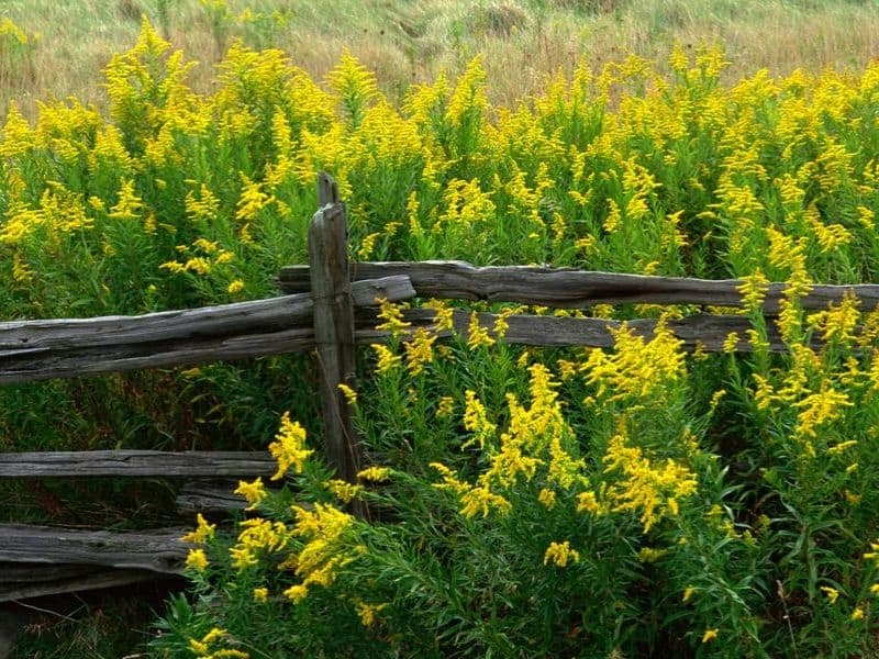 Yellow flowers peeking from behind a fence