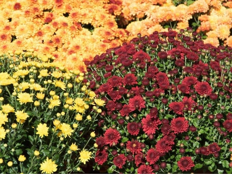 Yellow, orange and burgundy chrysanthemums
