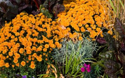 Fall garden corner, feautirun orange mums, ornamental kale and ornamental grass