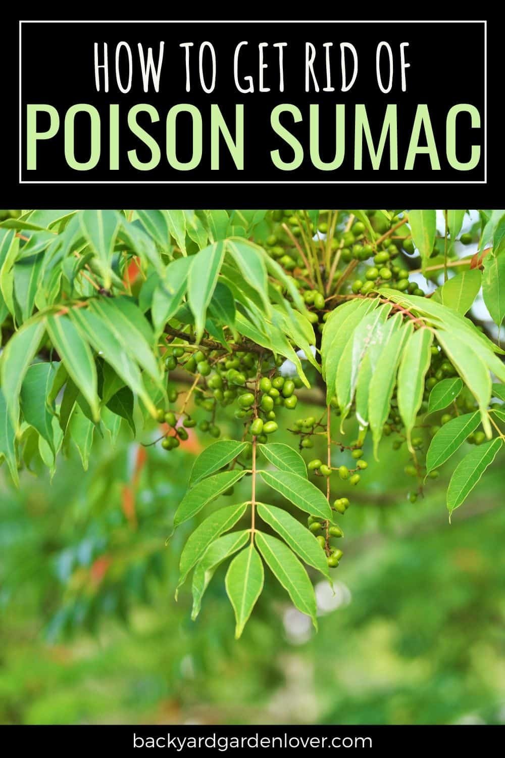 Poison sumac - how to get rid of it for good