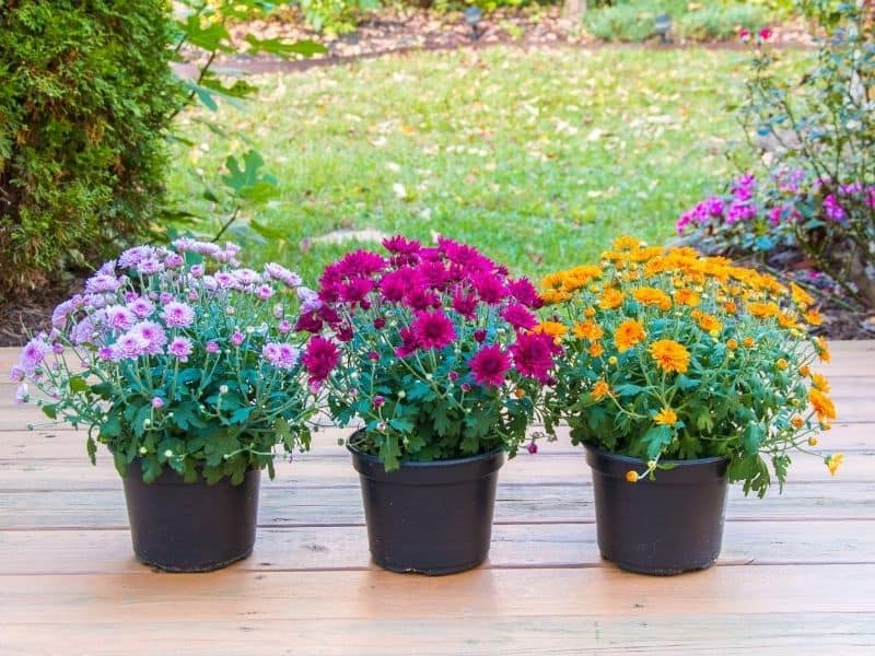 Three containers of mums in differnt colors