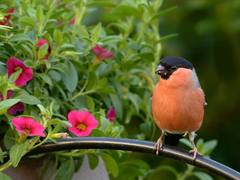 Orange bird and pink flowers