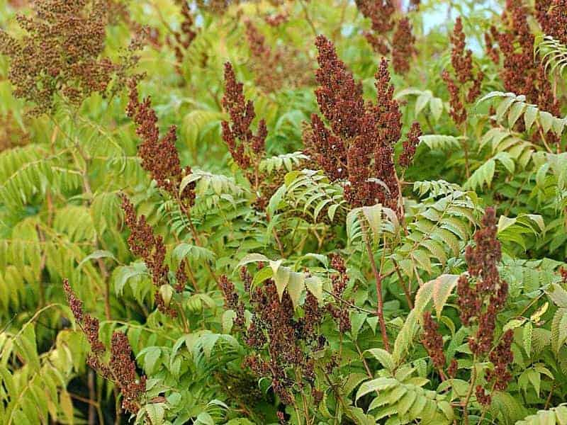 How To Get Rid Of Poison Sumac For Good