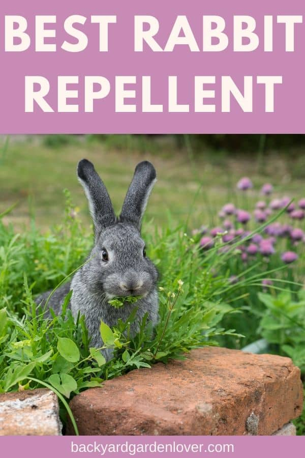 What is the best rabbit repellent for your garden? If you've been plagued by rabbits feasting on your garden (both vegetables and flowers), you'll LOVE my collection of repellents. You'll find some you can make yourself form items in your pantry, as well as ready to use repellents form the store, that are organic and safe. Take a look and see how YOU can keep rabbits form munching on your plants. #rabbits #gardenpests #gardener #gardening #landscaping #mygarden