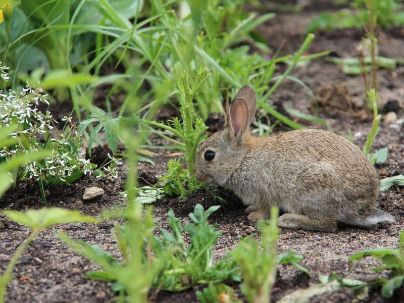 Rabbit in the garden