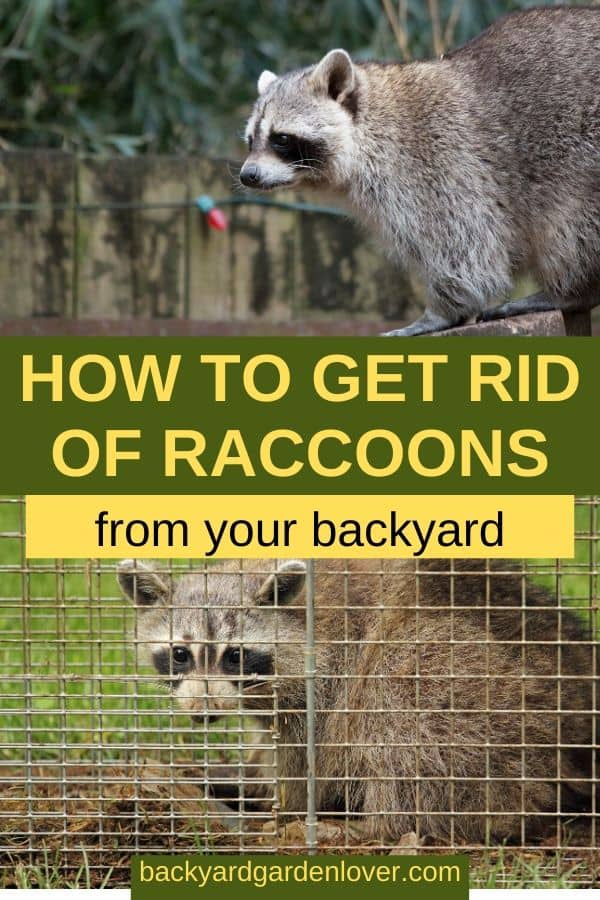 How to get rid of raccoons from your backyard - Pinterest image