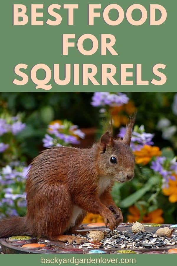 If you love watching squirrels play in your backyard, feeding them will bring lots of them! Here's the best food for squirrels: they'll come running if you provide it.