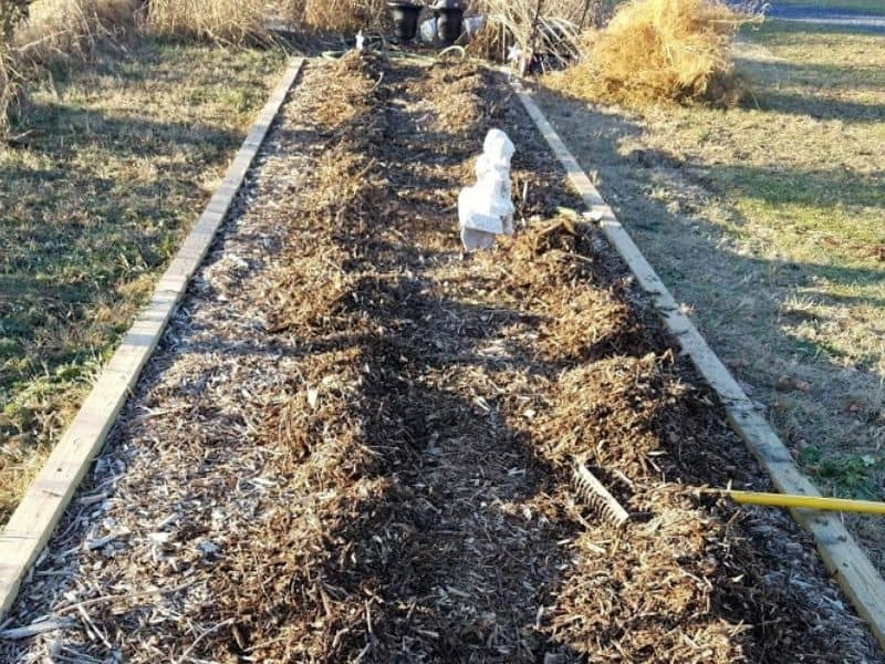 Asparagus bed ready for winter