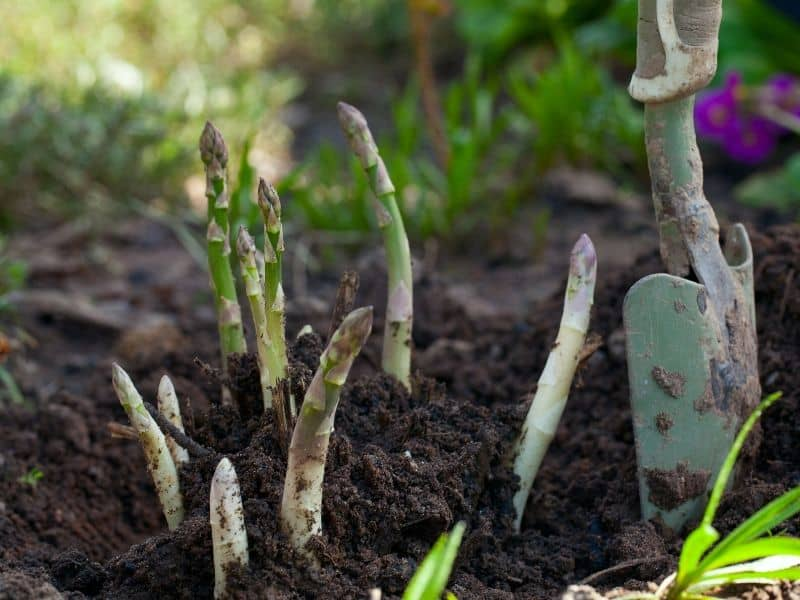 Asparagus coming out of the ground in the spring